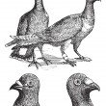 Belgian carriers- Liege or Antwerp pigeon vintage engraving — Stock Vector #6721024