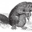 Vector de stock : Beaver or rodent vintage engraving