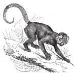 Cebus Capucinus or Capuchin vintage engraving — Stock Vector #6721547