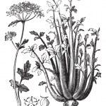 Celery or Selinon vintage engraving — Stock Vector #6721773