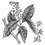 Celastrus scandens or American bittersweet vintage engraving — Stock Vector #6721805