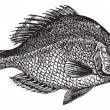 Centrarchus aeneus or rock bass fish vintage engraving — Stock Vector #6721883