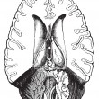 Human brain cut horizontally to show internal parts vintage engr - Stock Vector