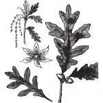 White Oak vintage engraving — Stock Vector #6723293