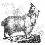 Постер, плакат: Wild Goat vintage engraving
