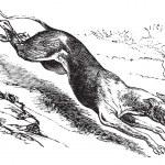 English Greyhound vintage engraving — Stock Vector #6723738