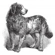 Royalty-Free Stock Vector Image: Newfoundland or Canis lupus familiaris vintage engraving