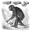 Chimpanzee or Pan troglodytes vintage engraving - Stock Vector