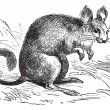 Chinchilla or Chinchilla lanigera vintage engraving — 图库矢量图片