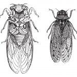Cicada or Cicadidae or Tettigarctidae vintage engraving — Stock Vector #6725178