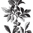 Southern Wax Myrtle or Southern Bayberry or Candleberry or Tallo - Stock Vector