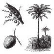 Постер, плакат: Coconut or Coconut Palm or Cocos nucifera vintage engraving