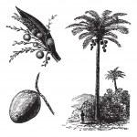 ������, ������: Coconut or Coconut Palm or Cocos nucifera vintage engraving
