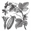 Постер, плакат: Cucumber or Cucumis sativus vintage engraving