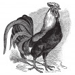 Rooster or Cockerel or Cock or Gallus gallus vintage engraving - ベクター素材ストック