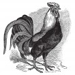 图库矢量图片: Rooster or Cockerel or Cock or Gallus gallus vintage engraving