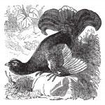 Black Grouse or Blackgame or Tetrao tetrix vintage engraving — Stock Vector #6728176