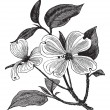 Flowering Dogwood or Cornus florida vintage engraving - Stock Vector
