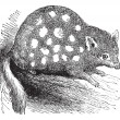 Eastern Quoll or Eastern Native Cat or Dasyurus viverrinus, vint — ベクター素材ストック
