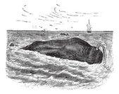 Sperm whale or Physeter macrocephalus, marine, mammal, vintage e — Stock Vector
