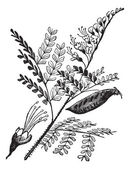 Caesalpinia echinata ou brazilwood gravura vintage. — Vetor de Stock