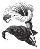 Zantedeschia aethiopica or Richardia Africana, flower, vintage e — Stock Vector