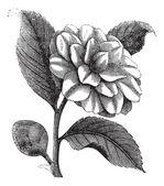 Camelia japonica o rosa de vintage grabado en invierno — Vector de stock
