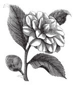 山茶或冬季复古雕刻的玫瑰 — 图库矢量图片