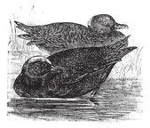 Wigeon or Anas americana vintage engraving — Stock Vector