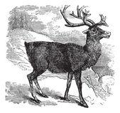 Caribou or Reindeer vintage engraving — Stock Vector