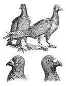 Belgian carriers- Liege or Antwerp pigeon vintage engraving — Stock Vector
