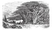 Lebanese cedar or cedar vintage engraving — Stock Vector