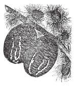 Branche de cèdre avec une gravure vintage de cône de cèdre — Vecteur