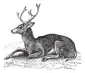 Mule deer or Odocoileus hemionus vintage engraving — Stock Vector