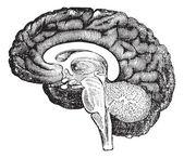 Bir insan beyni antika gravür yan görünüm dikey bölümü — Stok Vektör