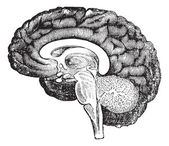 Vertical section of side view of a human brain vintage engraving — Stok Vektör