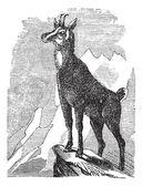 Chamois, or Antilope rupicapra vintage engraving — Stock Vector