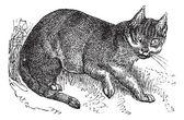 Wildcat vintage engraving — Stock Vector