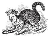 Tigerkatze vintage gravur — Stockvektor