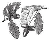 English Oak vintage engraving — Stock Vector