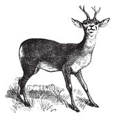 Roe Deer vintage engraving — Vector de stock