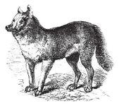 Dingo vintage engraving — Stock Vector