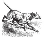 Pointer or English Pointer or Canis lupus familiaris vintage eng — Stockvektor