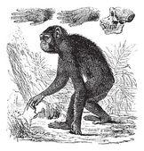 Chimpanzee or Pan troglodytes vintage engraving — Stock Vector