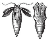 Chrysalide of a Moth vintage engraving — Stock Vector