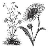 Chrysanthemum sp. vintage engraving — Stock Vector