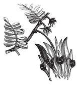 Sturt's Desert Pea or Swainsona formosa vintage engraving — Stock Vector