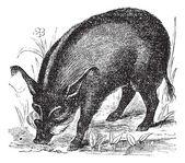 Warthog or Wart-hog or African Lens-Pig or Phacochoerus africanu — Stock Vector