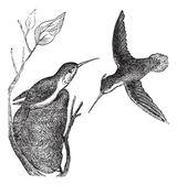 Rufous Hummingbird or Selasphorus rufus vintage engraving — Stock Vector