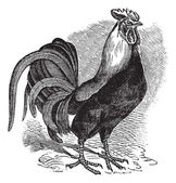 Rooster or Cockerel or Cock or Gallus gallus vintage engraving — Cтоковый вектор